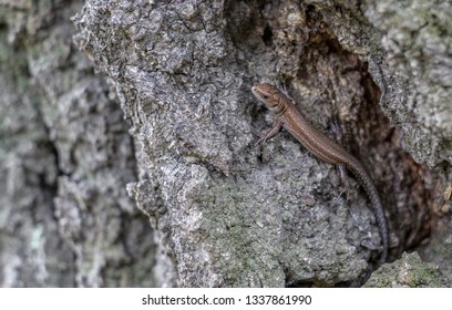 Viviparous lizard on the bark of a tree
