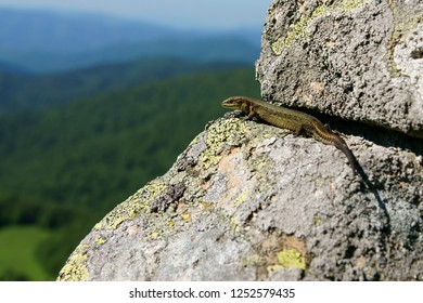 Viviparous Lizard on the rock / Zootoca vivipara