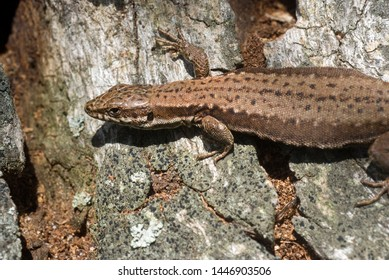 Viviparous Lizard on trunk near a pool