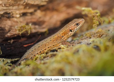 Viviparous Lizard on the wood, Zootoca vivipara
