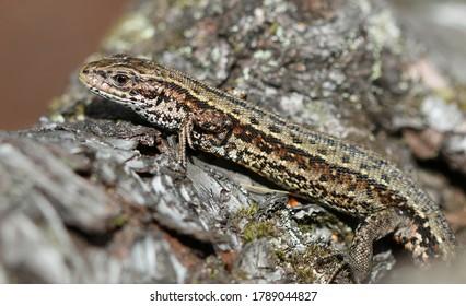 Viviparous lizard in the sun