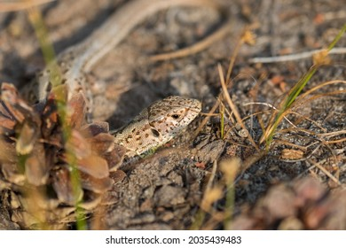 Viviparous lizard, vivipara (Zootoca vivipara) sunbathing and lying in the sand, Sand lizard (Lacerta agilis), Barycz Valley reptiles - Shutterstock ID 2035439483