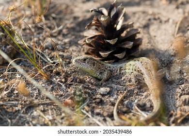 Viviparous lizard, vivipara (Zootoca vivipara) sunbathing and lying in the sand, Sand lizard (Lacerta agilis), Barycz Valley reptiles - Shutterstock ID 2035439486