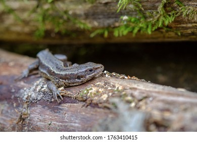 Viviparous lizard warms up on a tree trunk. Scientific name Lacerta vivipara Jacq.