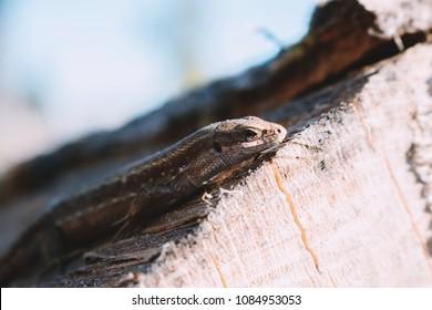 Viviparous lizard - Zootoca vivipara