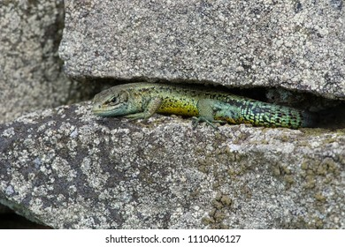 Viviparous Lizard (Zootoca vivipara) basking on lichen covered stone wall