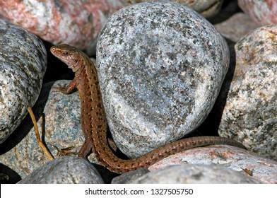 Viviparous lizard (Zootoca vivipara) between stones. Photo taken at the Karelian Isthmus on the shore of Ladoga lake