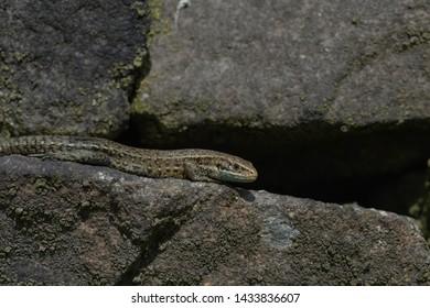 viviparous lizard, Zootoca vivipara , Common Lizard on a drystone wall in the Peak district