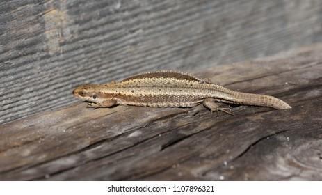 The viviparous lizard - Zootoca vivipara. Finland.