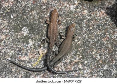 The viviparous lizard, Zootoca vivipara (formerly Lacerta vivipara), is a Eurasian lizard.