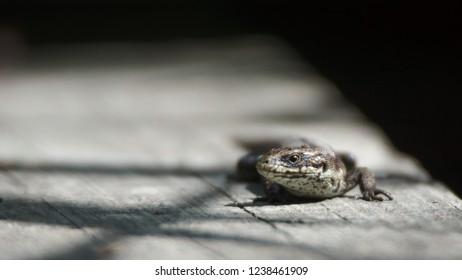 A viviparous lizard (Zootoca vivipara) on a wooden plank