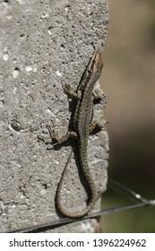 Viviparous lizards bask in the sun
