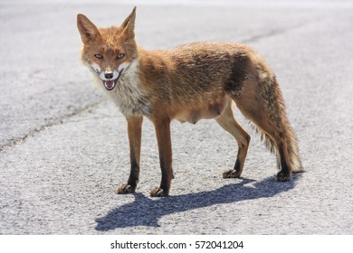 Vixen approaching on asphalt road