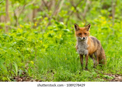 A vixen on a forest path