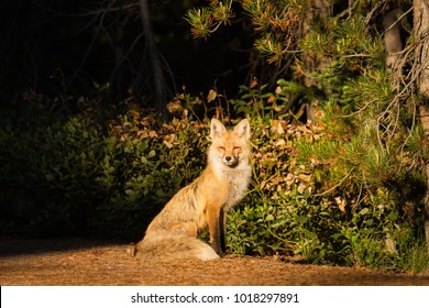A vixen red fox stares intently as the sun rises in Grand Teton National Park.