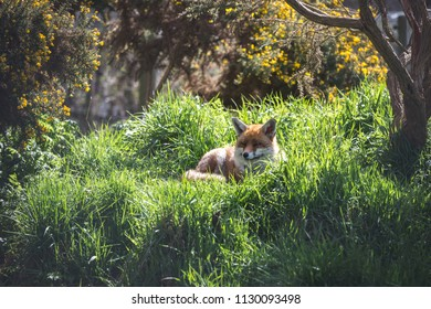 A vixen Red Fox (Vulpes Vulpes) is the largest of the true foxes. Surrey, England