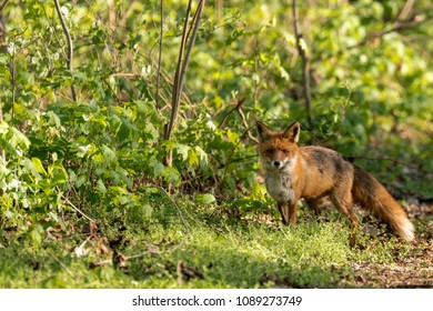 A vixen in search of food in the forest