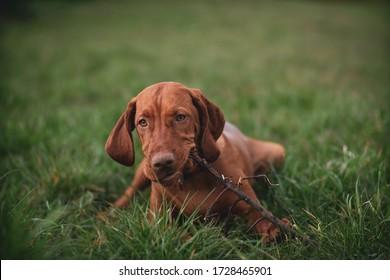 vizsla brown puppy enjoying stick in grass