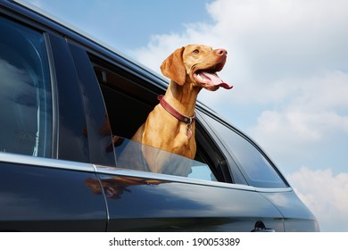 Vizsla dog looking out the car window