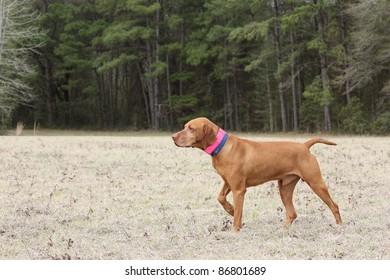 Vizsla Dog on Point Photograph