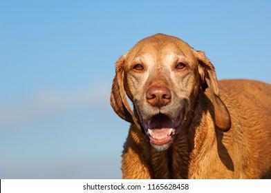 Vizsla dog outdoor portrait with big smile