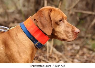 Vizsla Dog Profile