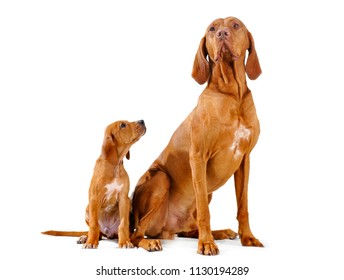Vizsla Dog and puppy.  father and son sit in a studio on a white background. The puppy looks up at his father.