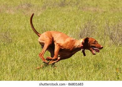 Vizsla Dog Running Photograph