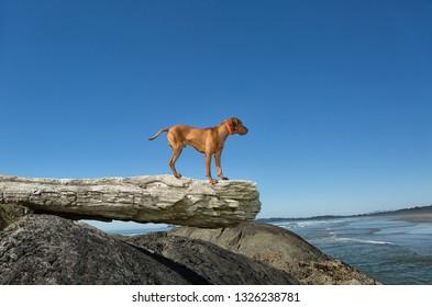 vizsla dog standing on driftwood tree trunk by ocean shore