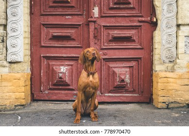 Vizsla Hungarian pointer hunter dog sitting outside in front of old building with red doors