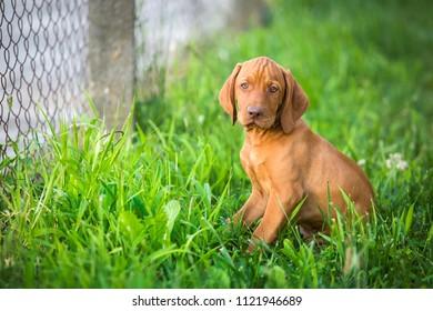 vizsla puppy dog