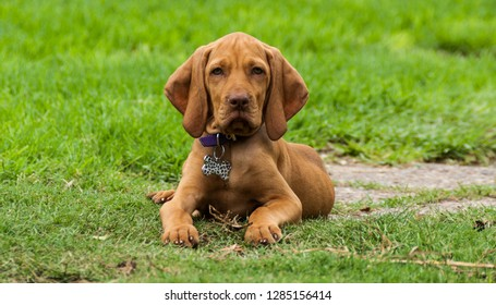 A vizsla puppy looking to me from the backyard