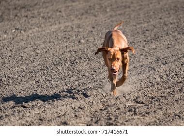Vizsla running towards camera