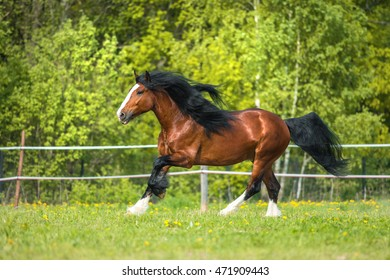 Vladimir Heavy Draft horse runs gallop on the meadow