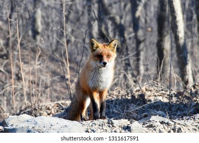 Vladivostok, Russkiy island. Red Fox in the winter forest