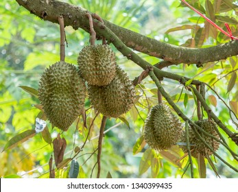 Volcanic durian, Durian quality fruit Delicious fruit Planted in Sisaket Province, Thailand