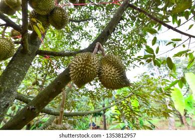 Volcanic Durian , in Sisaket Province, Thailand