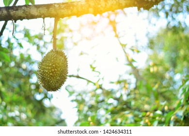 Volcano Durian fruit is fresh on the tree is useful plant with sunlight, in kantharalak sisaket Thailand