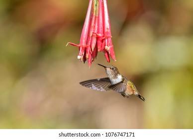 Volcano Hummingbird - Selasphorus flammula, beautiful colorful small hummingbird from Central America forests, Costa Rica.