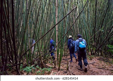 Volcano National Park, Rwanda, 21 April 2017 : A group of tourists climbing up the bamboo forest slopes of Virunga Mountain to trek the mountain gorillas