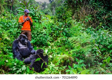 Volcanoes National Park , Rwanda, 20 January 2017,a  tourist and family of mountain gorillas, close up