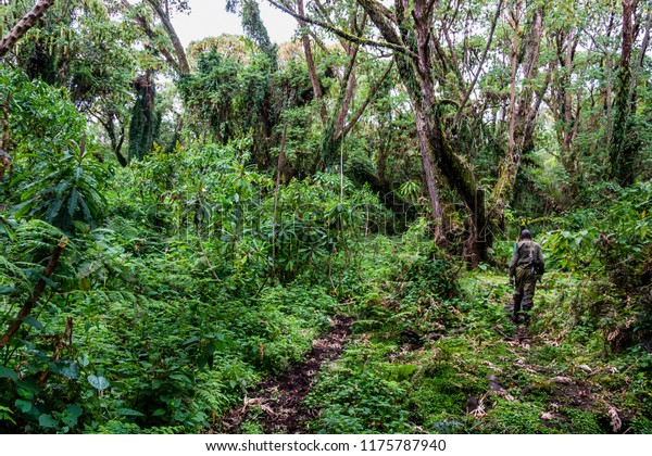 Volcanoes National Park , Rwanda, Africa, , ranger pave the way in the jungle, trek to the group of Gorillas