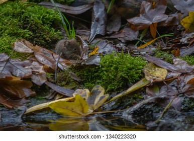 Vole animal forest Europe