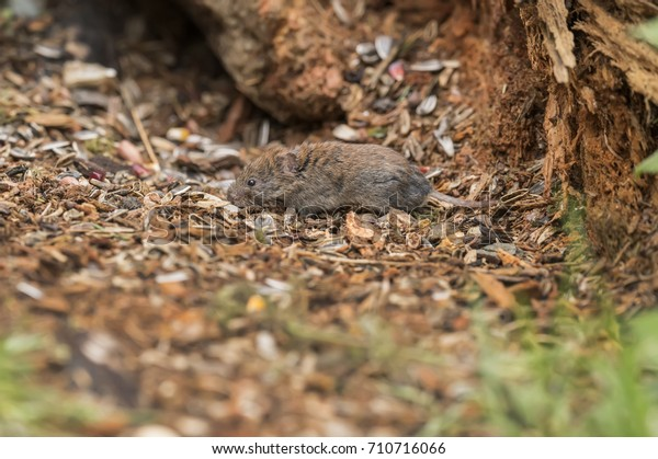 Vole On Forest Floor Eating Animals Wildlife Nature Stock