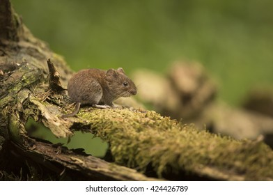 Vole sitting on a stump - veldmuis - Microtus arvalis
