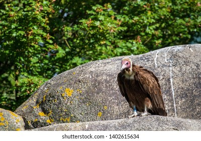 Voltor sitting on rock in the sun
