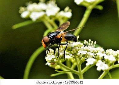 Volucella nigricans, a hoverfly, found in Sichuan, China.