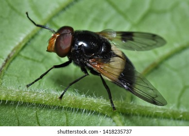 Volucella pellucens hoverfly on a leaf