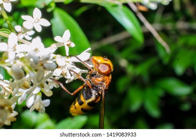 Volucella zonaria, famous for mimicing hornets