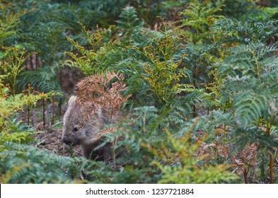 Vombatus ursinus - Common Wombat in the Tasmanian scenery, Maria Island near Tasmania.
